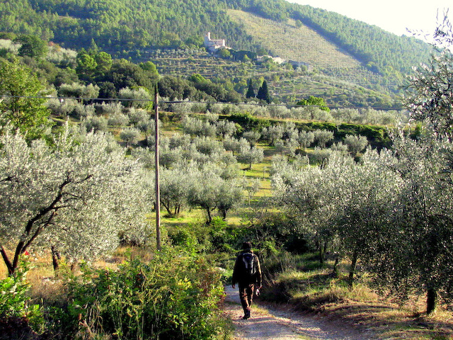 Olive grove path